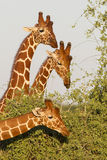 Three male Reticulated Giraffes in Samburu Reserve, Kenya Stock Photo