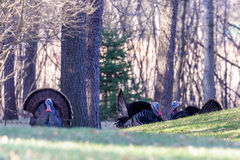 Three male Turkeys Fanning. Male turkeys fanning on a Wisconsin spring day Royalty Free Stock Photos