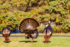 Three Male Turkeys. Three male wild turkeys in search of a female during the spring breeding season in Wisconsin Royalty Free Stock Photos