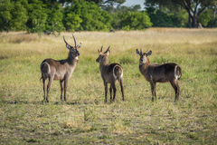 Three male waterbuck in meadow with trees Stock Photo
