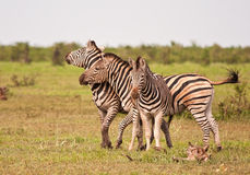 Three male zebras fighting Royalty Free Stock Photos