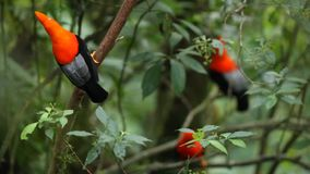Three males of Andean Cock-of-the-rock Rupicola peruvianus dyplaing on branch and waiting for females. Beautiful orange bird in its natural enviroment stock video footage