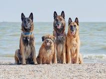 Three Malinois Belgian and Little Pyrenean Shepherd. Posing on the Seashore Royalty Free Stock Photos