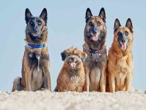 Three Malinois Belgian and Little Pyrenean Shepherd. Posing on the Seashore Stock Images