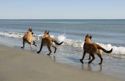 Three malinois and the sea. Three puppies belgian shepherd malinois and the mediterranean sea Stock Photography