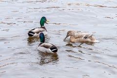Three Mallard duck Stock Photo