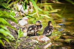 Three mallard ducklings Royalty Free Stock Photos