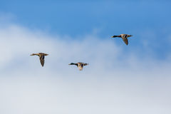 Three mallard ducks anas platyrhynchos flying, clouds, blue sk. Three natural mallard ducks anas platyrhynchos flying, clouds, blue sky Royalty Free Stock Images