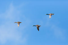 Three mallard ducks anas platyrhynchos flying, clouds, blue sk. Three natural mallard ducks anas platyrhynchos flying, clouds, blue sky Royalty Free Stock Photos