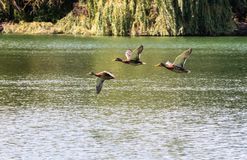 Three Flying Ducks Royalty Free Stock Photo