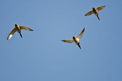 Three Mallard Ducks Flying in a Blue Sky Stock Photography