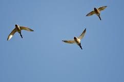 Three Mallard Ducks Flying in a Blue Sky Stock Photography