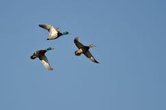 Three Mallard Ducks Flying in a Blue Sky Stock Photos