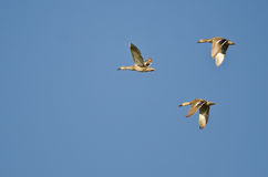 Three Mallard Ducks Flying in a Blue Sky Stock Photos