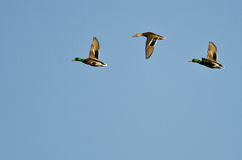 Three Mallard Ducks Flying in a Blue Sky Stock Image