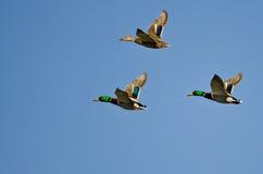 Three Mallard Ducks Flying in a Blue Sky Stock Image