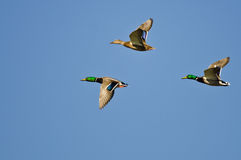 Three Mallard Ducks Flying in a Blue Sky Stock Images