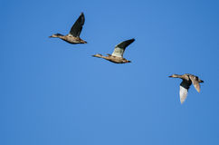 Three Mallard Ducks Flying in a Blue Sky Stock Photo