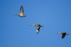Three Mallard Ducks Flying in a Blue Sky Royalty Free Stock Photography