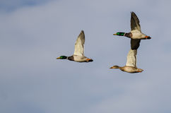 Three Mallard Ducks Flying in a Blue Sky Royalty Free Stock Images