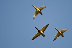 Free Three Mallard Ducks Flying In A Blue Sky Stock Image - 47131621