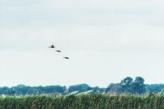 Three mallard ducks flying over. Rural Dutch Landscape Stock Image