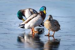 Three Mallard ducks on a frozen lake stock photos