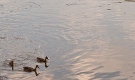 Three ducks on a river. Three mallard ducks swimming in the Allegheny River In Warren County, Pennsylvania, USA with room in the picture for added textn Royalty Free Stock Photo