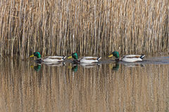 Three mallard ducks. Swimming in a pond Royalty Free Stock Image