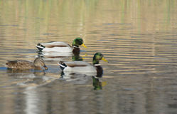 Three Mallard Ducks Swimming On Pond Royalty Free Stock Photo