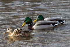 Three Mallard Ducks Swimming in a Row. Two glossy, green-headed mallard duck males following brown speckled female through rippling waters. Dabbling duck, Anas Royalty Free Stock Photography
