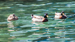 Three Mallard Royalty Free Stock Photos