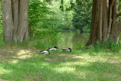 Three Mallards Dozing beside a Lake in Summer Stock Photography