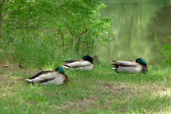 Three Mallards Dozing beside a Lake in Summer. Three mallards  are dozing beside a lake in summer, with eyes open and closed intermittently Royalty Free Stock Photos