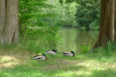 Three Mallards Dozing beside a Lake in Summer. Three mallards  are dozing beside a lake in summer, with eyes open and closed intermittently Royalty Free Stock Photo