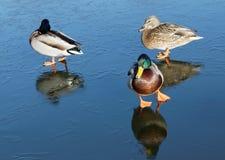 Three mallards on ice. Three mallards (lat. Fulica atra) walking on thin ice Stock Photos