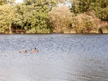 Three mallards one female two male swimming on lake surface in s Stock Photo