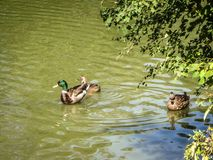 Sepia mallards in a pond. Three mallards in a pond Royalty Free Stock Image