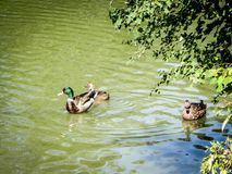 Two mallards swimming on water. Three mallards in a pond Royalty Free Stock Photos