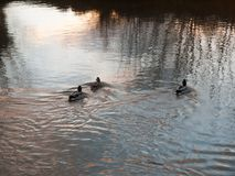 Three mallards swimming away water wave stream sunset. Essex; england; uk Stock Images
