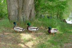 Three Mallards Walking beside a Lake in Summer Stock Images