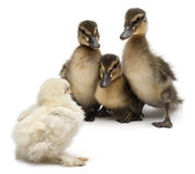Three Mallards or wild ducks, Anas. Platyrhynchos, 3 weeks old, facing a chick in front of white background Stock Images