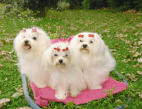 Three Maltese dogs. Three purebred malteses dogs sitting on a blanket in a park Royalty Free Stock Photography