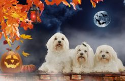 Three maltese dogs on Halloween. With pumpkin and moon and bats Royalty Free Stock Photography