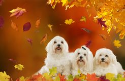 Three maltese dogs in autumn leaves. Three maltese dogslying  in autumn leaves Royalty Free Stock Images