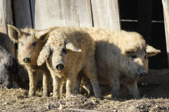 Three Mangalica a Hungarian breed of domestic pig. Tale of the Three Little Pigs, Mangalica a Hungarian breed of domestic pig Royalty Free Stock Photo