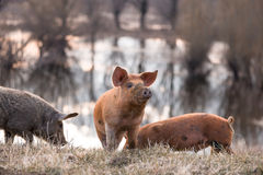 Three mangulista furry pigs Royalty Free Stock Photography