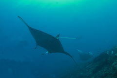 Three manta rays Royalty Free Stock Photo