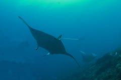 Three manta rays. Swimming in the blue sea Royalty Free Stock Photo