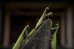 Three mantises on the fence. A group of three insects mantis on the fence Stock Images